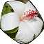 Hawaiian white flower