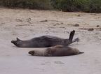 Sea Lions rolling on the beach, Santa Fe, Galapagos