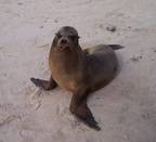 Sea lion is a wannabe model, Santa Fe, Galapagos