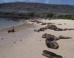 Sea lion exhorting the sleeping herd, Santa Fe, Galapagos