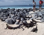 Red iguanas pile up to regulate their temperatures, Punta Suarez, Espanola, Galapagos