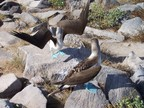Blue-footed booby displays for mate, Punta Suarez, Espanola, Galapagos