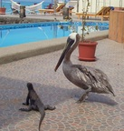 Red iguana and Pelican sharing our pool at Solymar Hotel, Puerto Ayora, Santa Cruz, Galapagos
