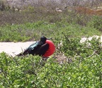 Frigatebird looking for a mate, Seymour Island, Galapagos
