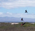 Frigatebirds eat by thieving from fisher birds, or from other frigatebirds, Seymour Island, Galapagos