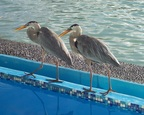 Two herons strutting their stuff at our pool, Solymar, Santa Cruz, Galapagos