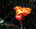 Yellow Canna Lily at Botanical Garden of Quito
