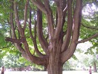 Tanglewood's rich and diverse music may have inspried this tree