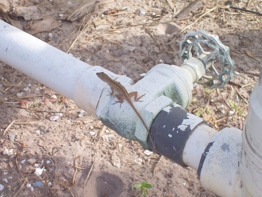 The water lines are patiently guarded by Lenny the Lizard.