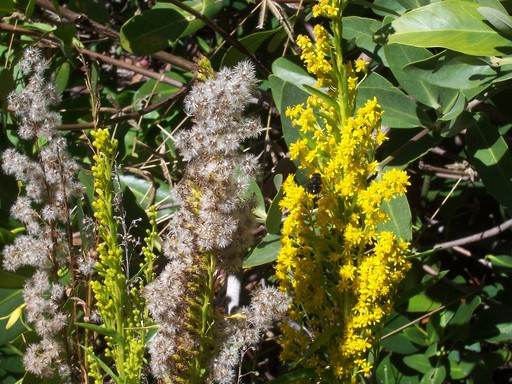 Bees pollinating the golden rod. Edison (tommorrow) found that goldenrod was a good source of latex for natural rubber. Not commercially use, however, because synthetic rubber had already been invented.