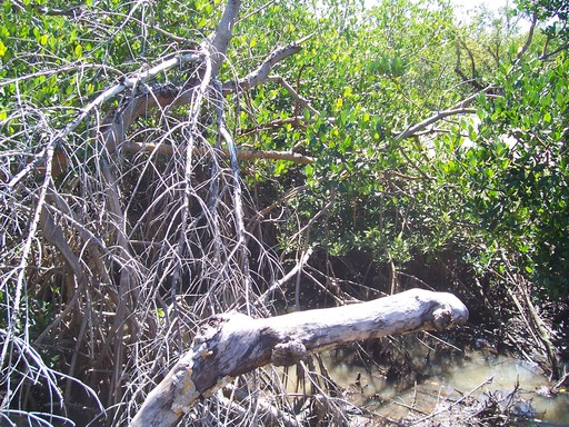 The mangroves were devasted by Hurricane Charlie.