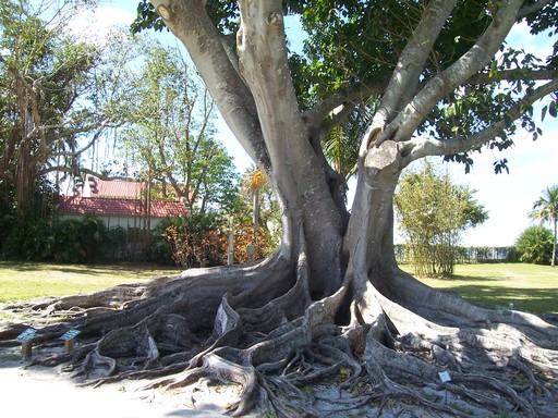 Mysore fig trees grew sculptured root systems.