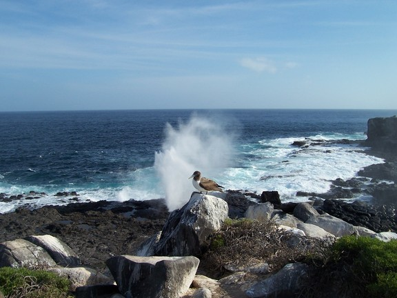 Blow hole explodes behind Blue-footed Booby on Punta Suarez, Espanola, Galapagos