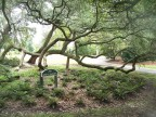 Tortuous trees (Airlie Gardens, Wilmington, NC)