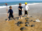 Horseshoe crab collectors busy at work