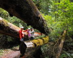Checking out fallen treens girding the Spruce Nature Trail in Hoh Rina Forest