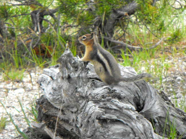 A ground squirrel in Yellowstone National Park