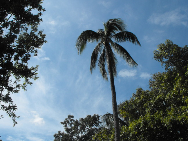 Palm tree near Harry Truman's hideaway in Key West