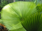Fan plant at the Audubon House, Key West