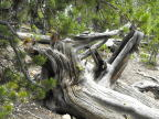 Twisted log at Grand Canyon of the Yellowstone