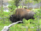 The buffalo that blocked our path in Yellowstone National Park