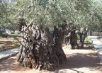 A millenial olive tree in the Garden of Gethsemane