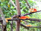 Farmers Sonya and Rodrigo put out papayas to attract toucans to their back yard, Costa Rica