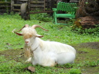 Smiling goat at Chachaguas