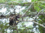 Mommy and baby howler monkeys