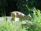Young white-tailed deer at entrance fo Manuel Antonio National Park