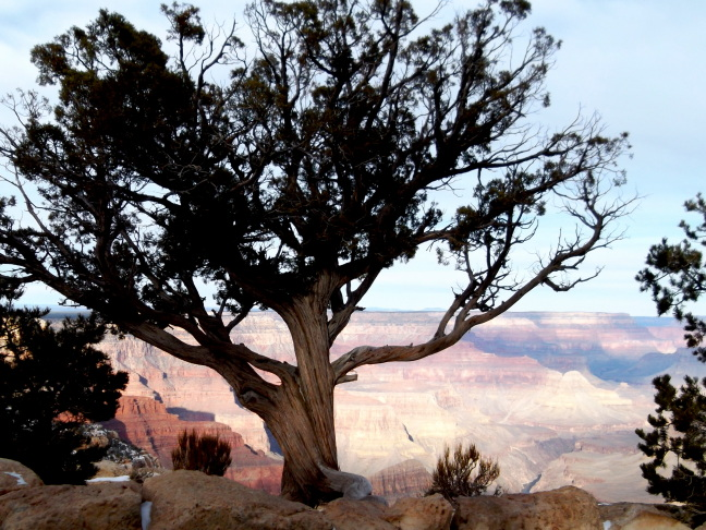 Beleaguered tree holds the edge at dawn, Grand Canyon