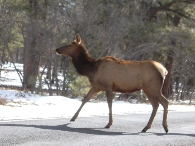 Susan thinks that viewing this Grand Canyon elk will improve your life