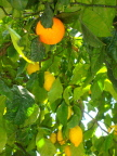 Lemon tree rootstock is hardier than orange, so orange limbs are grafted to lemon tree in Naples