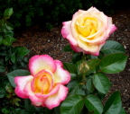 Delicate pink, yellow, and white rose at Millcreek Metropark, Youngstown, Ohio