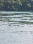 Loon (increasingly rara avis) in Niagara River