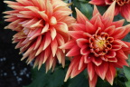 Incredible dahlias in Anchorage park - thanks to 20 hours of sunlight