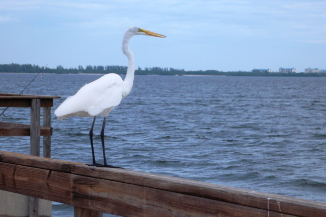 An egret looks to Fort Myers from Sanibel FL