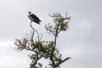 The local Osprey surveys the field at Lighthouse Point, Sanibel FL