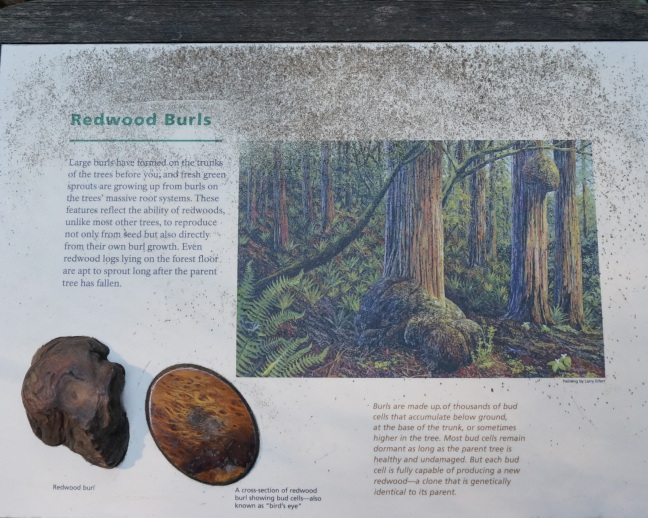Redwood burls are buds. Who knew!?