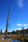 Dead tree by Donner Creek