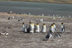 Mature emperors sunning themselves in the Falklands