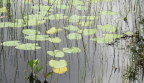 Lilypads thriving in the woodland bog