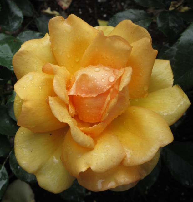 Yellow rose in Butchart Garden, Victoria, BC
