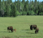 Bison and babies, Kaibob Plateau meadows