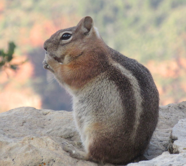 Big chipmunk bulging on the bounty of the Grand Csnyon's North Rim