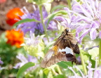 Butterfly enjoying the King's Garden at Fort Ticonderoga